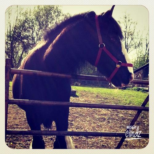 Heeley City Farm's Blade the Horse - he's massive!