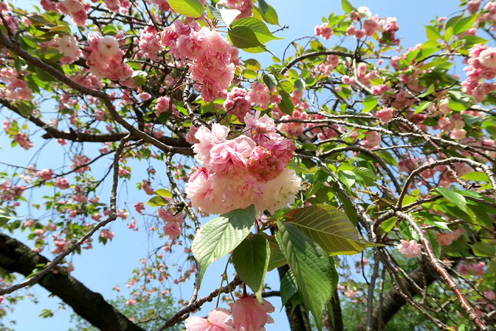 missie-cindz-cherry-blossoms