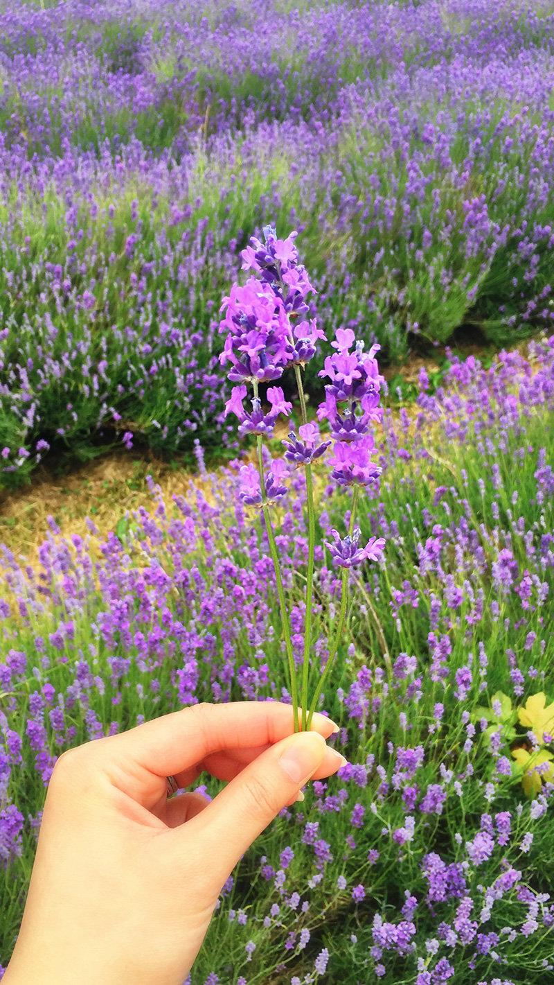 Mayfield Lavender, Surrey